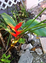 Bird of Paradise in the Garden