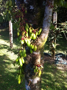 Guarno Fruit